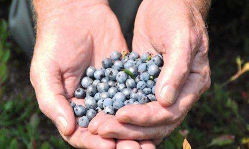 有機JAS認定 オーガニック・ワイルドブルーベリーのペーストが美味しい!