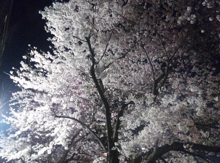 hanami_2015_08