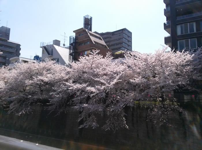 hanami_2015_18