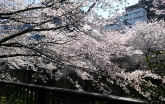 hanami_2015_22