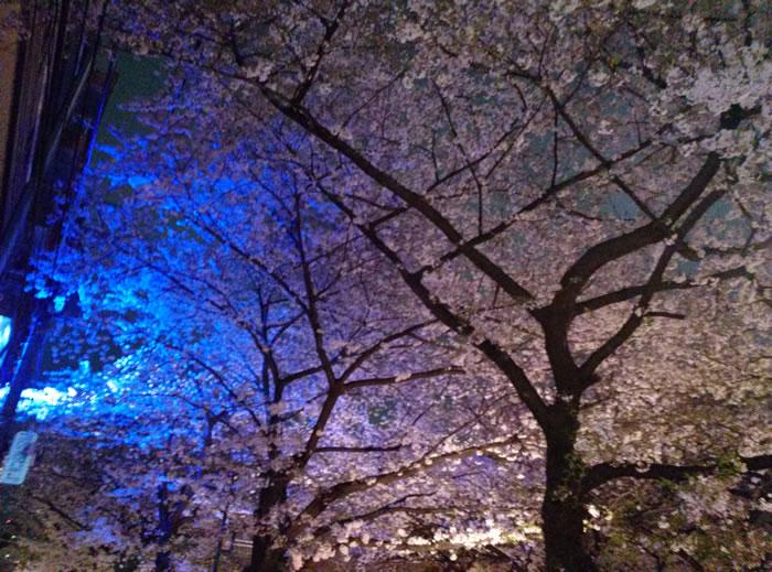 hanami_2015_37