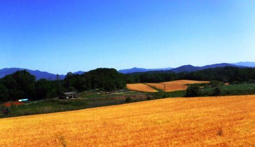美作市の麦の写真です。